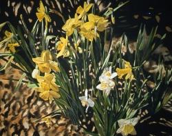 Daffodils 50x65