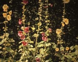 Hollyhocks with Ivy 50x76