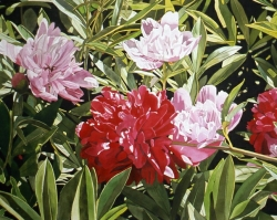 Pink and Red Peonies 40x60