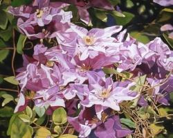 Purple Clematis 25x40