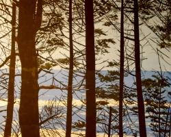 Trees at Lake 36x36