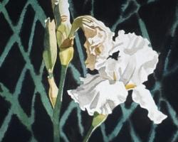White Iris 11x15